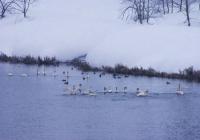 20110209_swan