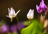 20110515_springfllower006