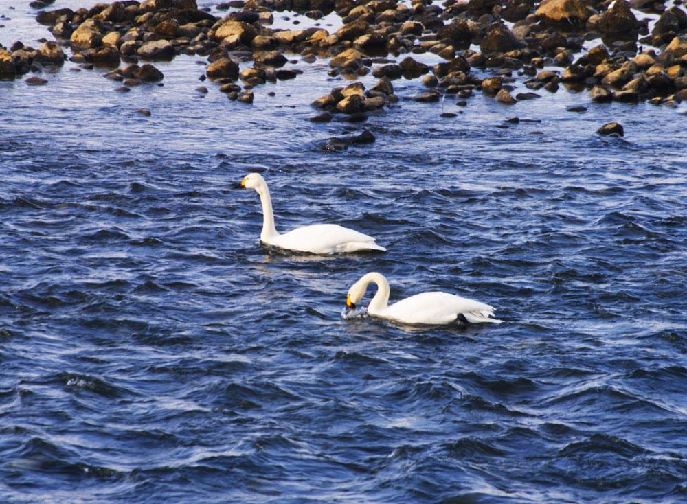 20110214_swan